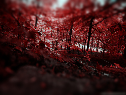 Red-leaves-forest-wallpaper